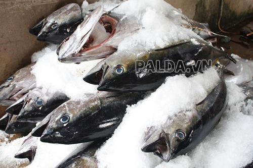 Bảo quản cá ngừ biển