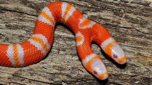 Ngủ mơ thấy rắn hai đầu