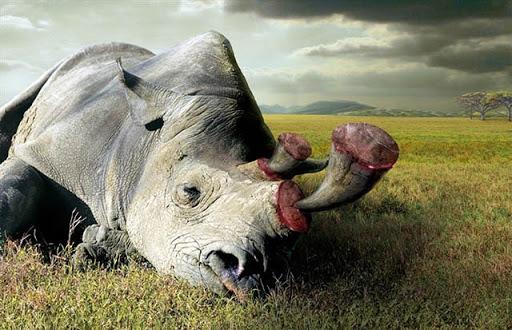 nạn săn bắn tê giác trái phép