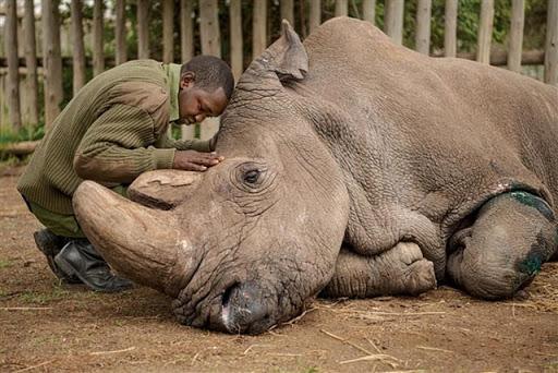 tê giác trắng Bắc Phi