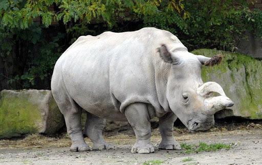 Tê giác trắng đực cuối cùng